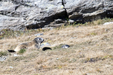 marmot mother Observes her little out of my burrow.