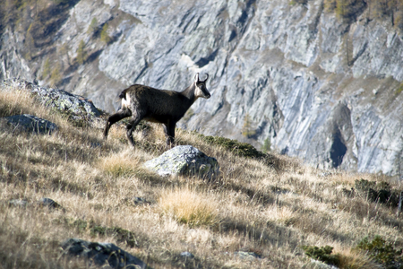 the suede in the park of Gran Paradiso