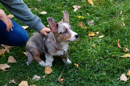Welsh Corgi cardigan. This is the Forest Corgi. According to legend, the Corgi served the forest elves. Proof of this is the shape of the saddle on the back.
