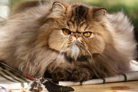 Photo pour Persian cat. Adult animal. The cat was photographed close-up on a walk in the park. Autumn - image libre de droit