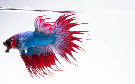 Photo pour Aggressive Moment of Red Blue Crowntail Siamese Fighting Fish or Betta Splendens on White Background - image libre de droit