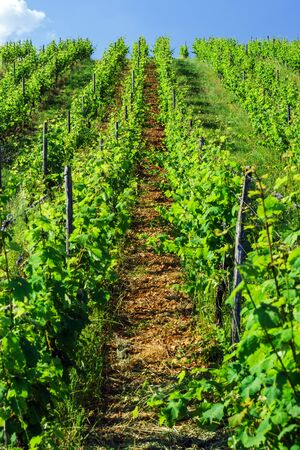 Green vineyards of Alsace, France. Summer time.