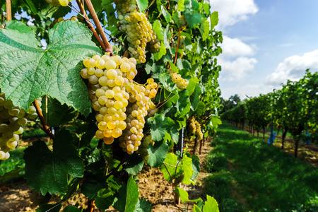 Muscat grape bunch on the sun, vine harvest, France