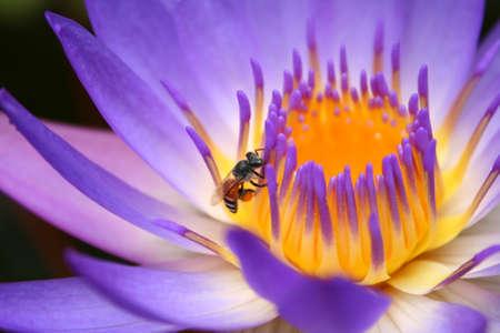 lotus bloom bee close up pollen