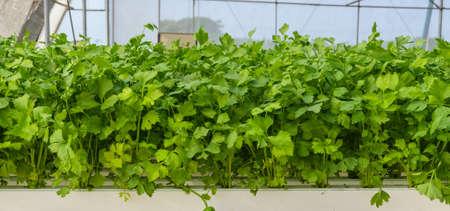 Leaf celery hydroponic vegetables plantation