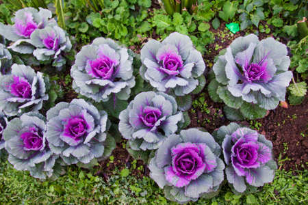 Colorful Ornamental cabbage in the garden