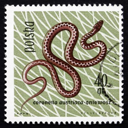 POLAND - CIRCA 1963: a stamp printed in the Poland shows Smooth Snake, Coronella Austriaca, Reptile, circa 1963