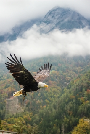 Bald Eagle in flight near Hohenwerfen
