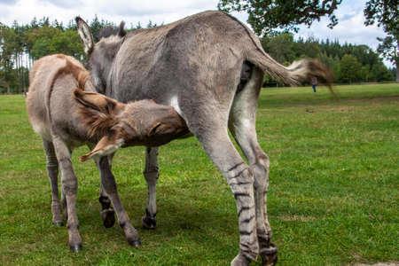 Zwei Esel im Knuthenborg Safari Park in DÀnemark.