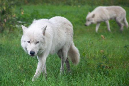Im Knuthenborg Safari Park in DÀnemark kommt man den Weißen Wölfen ganz nah.