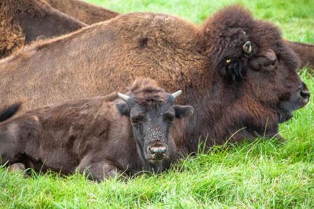 Im Knuthenborg Safari Park in DÀnemark lebt auch eine Bisonherde.