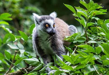 Lemuren im Knuthenborg Safari Park in DÀnemark
