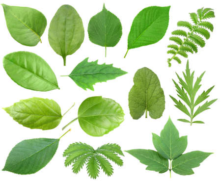Photo pour Set of green leaf. Isolated on white background. Close-up.   - image libre de droit