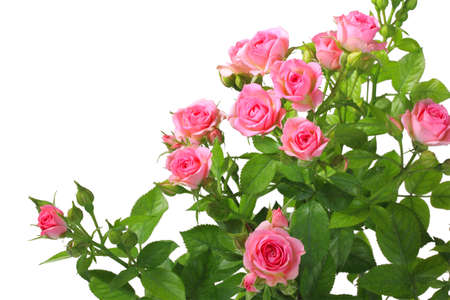 Bush with pink roses and green leafes isolated on white background. Close-up.