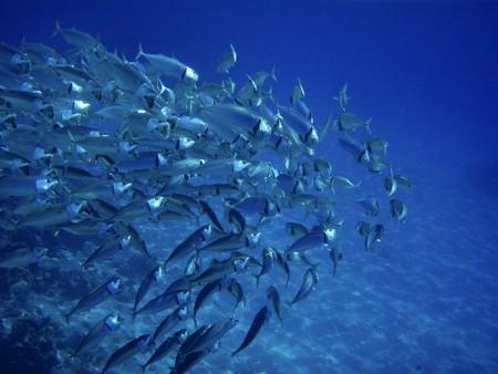 Photo pour Scholling fish near reef in Red Sea, Egypt. - image libre de droit