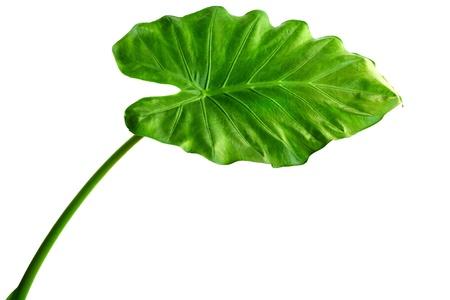 Photo pour Giant Taro plant leaf also known as:Alocasia machrorhiza,Dieffenbachia (Dumb Cane), Elephant Ear, Cunjevoi isolated on white background - image libre de droit