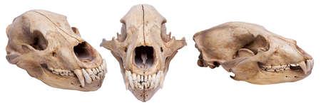 Photo pour bear skull on isolated white background - image libre de droit