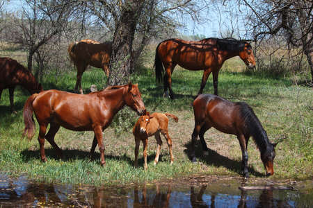 Young Foal In A Herd Of Wild Horses