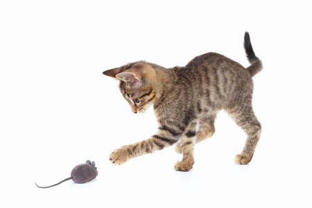 Photo pour Cute kitten is played with a gray toy mouse on a white background - image libre de droit