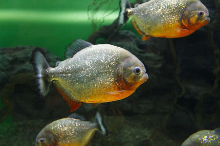 Photo pour School of Red-bellied piranha (Pygocentrus nattereri), also known as the Red piranha in their habitat - image libre de droit