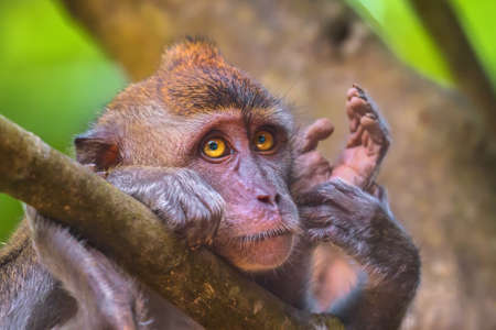 Portrait of sad monkey with bright yellow eyes looking in camera. Crab-eating macaque or the long-tailed macaque, Macaca fascicularis