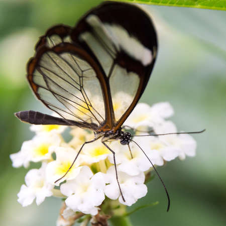 Close up of glass winged butterfly Greta morgane