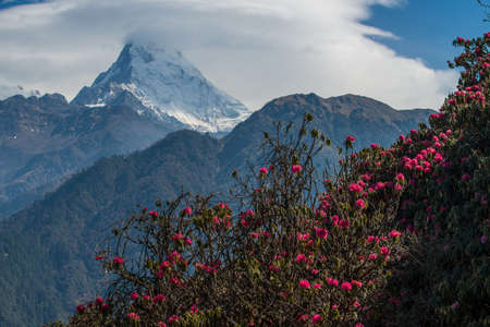 Photo pour Beautiful Rhododendron flowers growth on the Himalaya mountains range with Annapurna south in the background. - image libre de droit