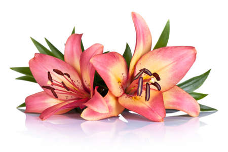 Pink lily flowers on white background. Macro shot