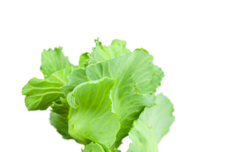 Close up detailed image of cabbage sprouts isolated on white
