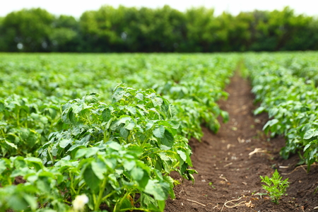 Photo for potato field rows with green bushes, close up - Royalty Free Image