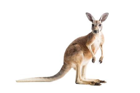 Red kangaroo on white background.
