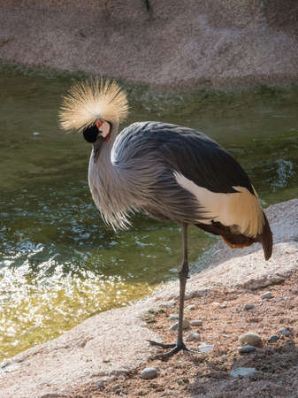 Foto per Crowned cranes. - Immagine Royalty Free