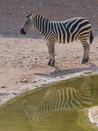 Foto per Zebra with reflection in water. - Immagine Royalty Free
