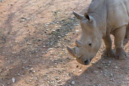 Foto per White rhinoceros. - Immagine Royalty Free