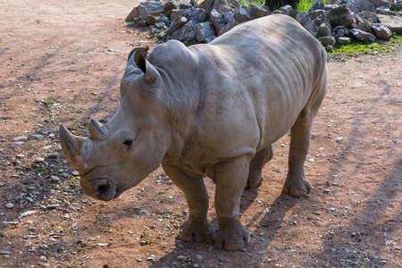 Foto per White Rhino - Rhino - Immagine Royalty Free