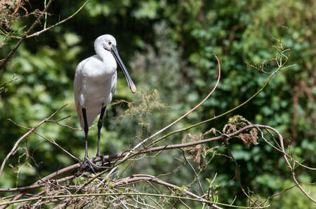 Foto per The Eurasian spoonbill or common spoonbill (Platalea leucorodia) is a wading bird of the ibis and spoonbill family Threskiornithidae. The genus name Platalea is from Latin and means broad, referring to the distinctive shape of the bill, and leucorodia i - Immagine Royalty Free