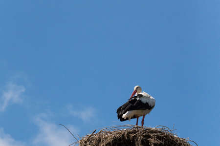 Foto per The white stork (Ciconia ciconia) is a large bird in the stork family Ciconiidae. Its plumage is mainly white, with black on its wings. - Immagine Royalty Free