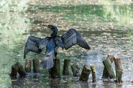 Foto per The great cormorant (Phalacrocorax carbo), known as the great black cormorant across the Northern Hemisphere, the black cormorant in Australia, the large cormorant in India and the black shag further south in New Zealand, is a widespread member of the cor - Immagine Royalty Free