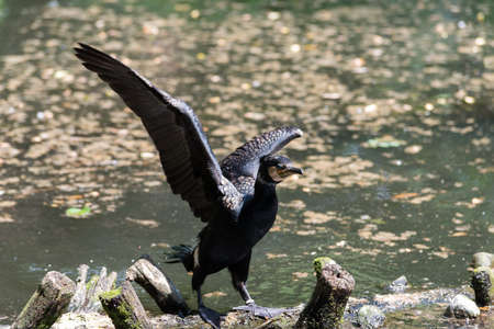 Foto per Cormorant with wings spread on branches in water - Immagine Royalty Free