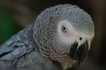 Gray parrot (close up)