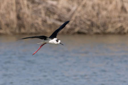 The black-winged stilt (Himantopus himantopus) is a widely distributed very long-legged wader in the avocet and stilt family (Recurvirostridae)