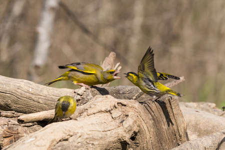 Foto per The European greenfinch, or just greenfinch (Chloris chloris), is a small passerine bird in the finch family Fringillidae - Immagine Royalty Free