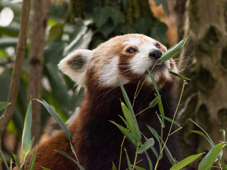 Foto per Red panda eats on a tree is a mammal native to the eastern Himalayas and southwestern China - Immagine Royalty Free
