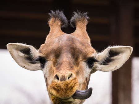 Foto per The giraffe (Giraffa) is a genus of African even-toed ungulate mammals, the tallest living terrestrial animals and the largest ruminants - Immagine Royalty Free
