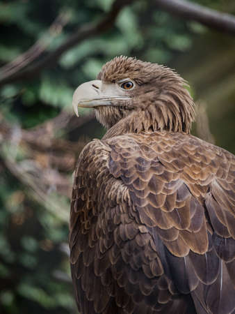 The white-tailed eagle (Haliaeetus albicilla), also known as the ern, erne, gray eagle, Eurasian sea eagle and white-tailed sea-eagle, is a large bird of prey in the family Accipitridae which includes other raptors such as hawks, kites, and harriers