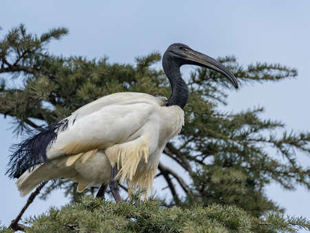 The African sacred ibis (Threskiornis aethiopicus) is a species of ibis, a wading bird of the Threskiornithidae family