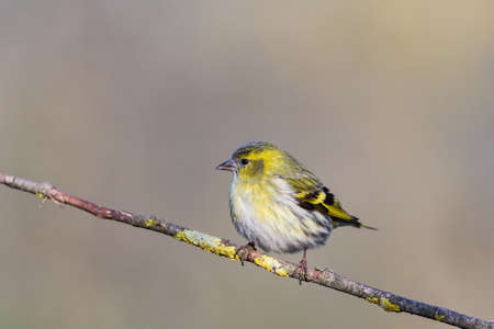 Foto per The Eurasian siskin (Spinus spinus) is a small passerine bird in the finch family Fringillidae. It is also called the European siskin, common siskin or just siskin - Immagine Royalty Free