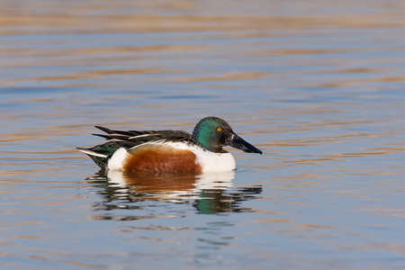 Foto per The northern shoveler (Spatula clypeata), known simply in Britain as the shoveler, is a common and widespread duck (male) - Immagine Royalty Free