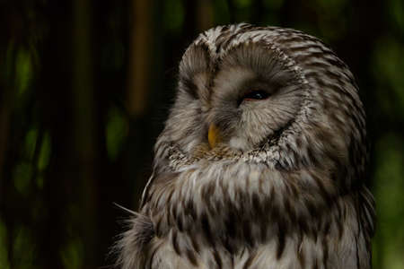 Portrait of a tawny owl or brown owl at nightfall, dark background, horizontal image, close subject