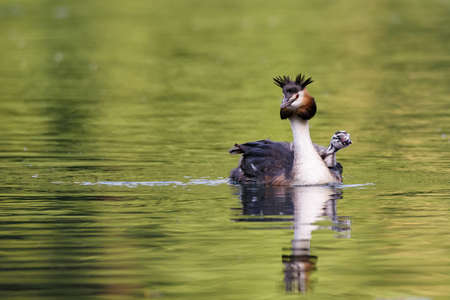 Foto per Beautiful specimen of female of great crested grebe carrying her little chick on the back and swimming in the river, horizontal image - Immagine Royalty Free